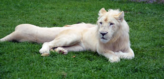 White lion. Is a rare color mutation of the lion. Until 2009 when the first pride of s was reintroduced to the wild, it was widely believed that the  could not Stock Photography