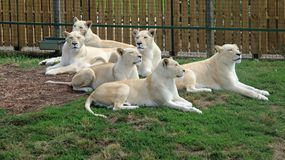 Pride of White Lions. The white lion is a rare color mutation of the lion. White lions in the area of Timbavati were thought to have been indigenous to the stock photography