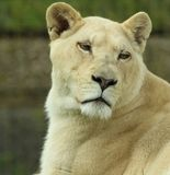 White lioness at The Big Cat Sanctuary Stock Photo