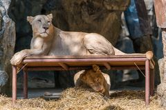 The white lion rest on the table while the other one playing und. Erneath Stock Photo