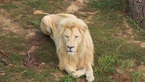 White Lion stock video footage