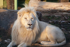 A white lion Stock Photography