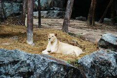 A White Lion Resting On The Ground stock photo