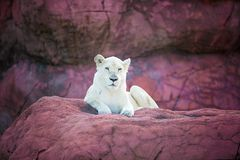 A lion. A white lion on a rock Stock Photography