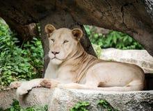 White lion on the rock Stock Photos