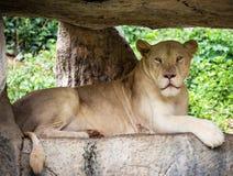 White lion on the rock Stock Photo
