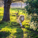 White lion. Running in wildlife sanctuary near Plettenberg Bay, South Africa Royalty Free Stock Photo