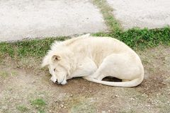 White lion, Safari Park Taigan (lions Park), Crimea. Stock Photo