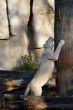 White Lion Scratching Tree Stock Photos