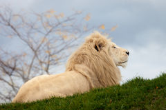 White lion. Sitting on the grass Stock Images