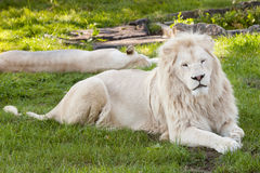 White lion. The white lion is sitting on the ground Royalty Free Stock Image