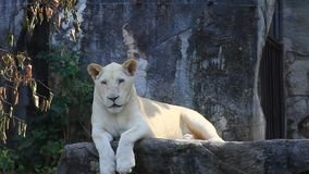 White Lion sitting on a rock stock footage