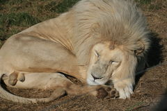 White lion sleeping. The rare male white lion sleeping in a game reserve in  Africa Stock Image