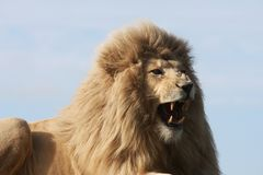 White Lion Snarling. White lion male growling and showing huge teeth Royalty Free Stock Photography