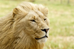 Staring lion Stock Photo
