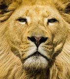 White Lion Stare Royalty Free Stock Images
