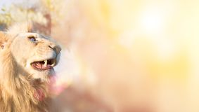 White lion. A thoughtful look into the distance. Animal Predator in the wild. Blurred background and sun glare on the photo. Space for text Royalty Free Stock Photos