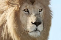 White Lion Up Close Royalty Free Stock Photos