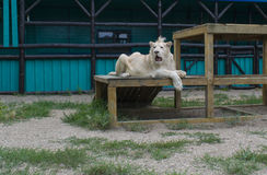 White lion very important rest. A white lion is very important rests on a wooden structure and looks Stock Photos