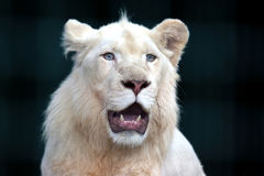 White lion with wide open mouth Stock Images