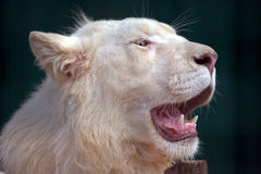 White lion with wide open mouth Stock Photography