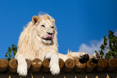 White Lion on Wooden Platform Licking Nose Royalty Free Stock Photos
