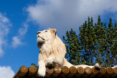 White Lion on Wooden Platform Looking Up Royalty Free Stock Images