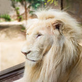 White lion. Young white lion in the act of looking for something Royalty Free Stock Photos