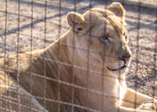 White Lion. Young white lion in the zoo Stock Photos