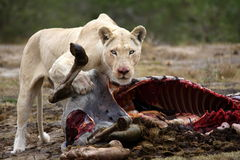 White lion with zebra kill Stock Images