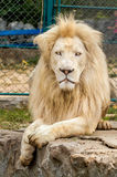 White Lion. In the zoo Stock Photo