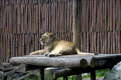 The white lion in ZOO, Bratislava Royalty Free Stock Photography