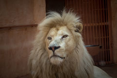 White lion in a zoo cage. Royalty Free Stock Photos