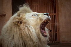 White lion in a zoo cage. Stock Photos