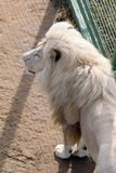 White lion in the zoo enclosure. View from the top Stock Photo