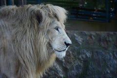 White lion in zoo Royalty Free Stock Photos