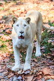 White lion in the zoo Stock Images