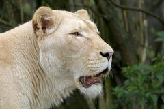 Free White Lioness Stock Photos - 105017453