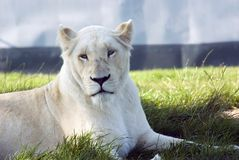 White Lioness. White lions are not albino, but a Kruger Subspecies, (Panthera leo krugen Stock Image