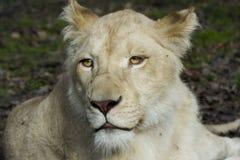 White lioness stock photo