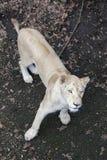 White lioness Stock Image