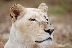 White Lioness. Image of white lioness closeup Stock Photos