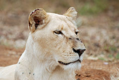 White lioness Royalty Free Stock Images