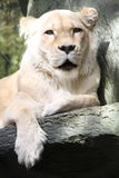 White Lioness. White female lion, lioness resting on a tree limb Stock Images