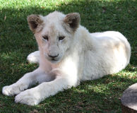White lioness. Young lioness lying on grass - close up Stock Images