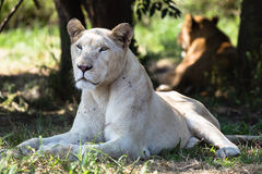 White Lioness Animal Royalty Free Stock Photography