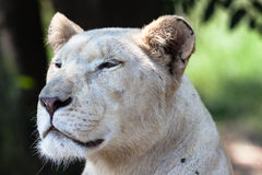 White Lioness Hunter Stare. White lioness looking intense stare in hunting mood sitting in the shade under trees with the pride stock photos