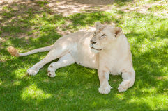 White lioness Stock Photography