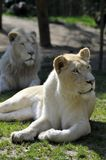 White lioness lying in grass Stock Images