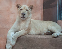 White lioness Royalty Free Stock Photos